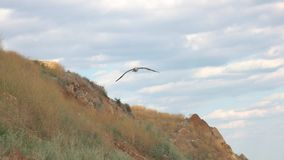 Bird flying near a hill. Seagull in the sky. The gift of freedom. Not afraid of heights stock video