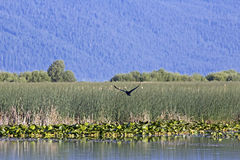 Bird Flying in Oregon Wetlands Royalty Free Stock Photo
