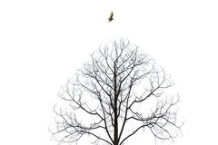 Bird flying over barren tree isolate on white background.  Royalty Free Stock Photography