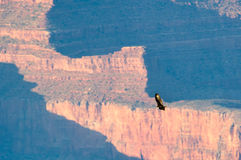 Bird flying over the grand canyon Stock Photo
