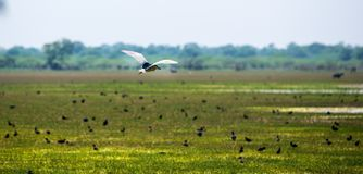 Bird flying over green grass in sunny day on field Royalty Free Stock Image