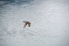 Duck flying over a lake stock photos