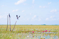 Bird is flying over the lotus swamp Stock Photography