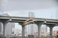 Bird flying over Miami Stock Photo