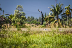 Bird flying over padi field Royalty Free Stock Photos