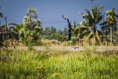 Bird flying over padi field Royalty Free Stock Photos