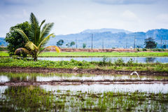 Bird flying over padi field Royalty Free Stock Images
