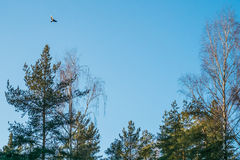 A bird flying over pine trees. A bird flying over bright pine trees Stock Photos