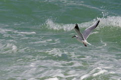 Seascape. Bird flying. Summer, sea, waves, holiday, fun - Black Sea, landmark attraction in Romania.  Royalty Free Stock Photo