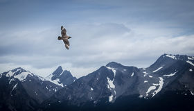 Bird flying over snow mountains - Ushuaia, Argentina Royalty Free Stock Image