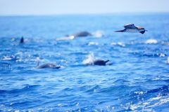 Bird flying over some dolphins in the pacific ocean of Costa Rica royalty free stock image