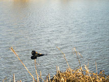 Bird Flying over water. Black Bird Flying over lake water Stock Photography