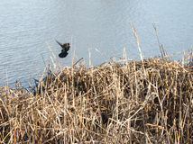 Bird Flying over water. Black Bird Flying over lake water Stock Image