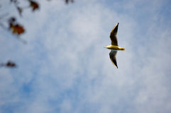 Bird flying overhead in a hazy blue sky. With outstretched wins and a large wingspan, copy space ahead of the bird Royalty Free Stock Images