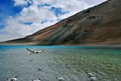 Bird flying in Pangong Lake Stock Photography