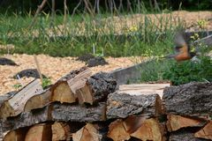 Bird flying from a pile of logs in British Columbia, Canada stock photo