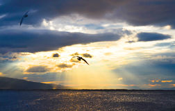 Bird flying on the sea at sunset, silhouette. Sun between clouds and seagulls flying. Stock Image