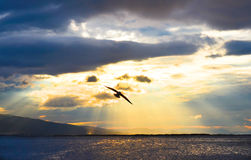Bird flying on the sea at sunset, silhouette. Sun between clouds and seagulls flying. Stock Images