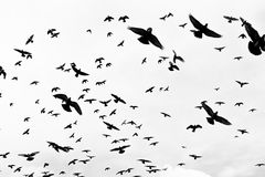 Birds flying in the sky. Bird flying sky birds flock flight fly nature blue animal wildlife geese silhouette migration clouds stock images