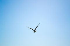 Bird flying the sky. Low angle view of bird flying the blue sky Stock Photo