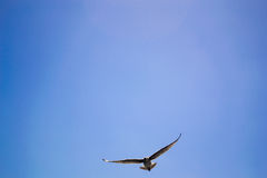 Bird flying the sky. Low angle view of bird flying the blue sky Stock Images
