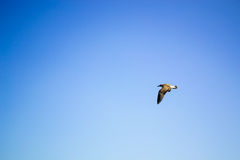 Bird flying the sky. Low angle view of bird flying the blue sky Royalty Free Stock Photo