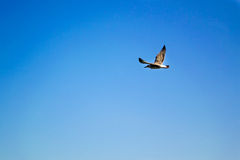 Bird flying the sky. Low angle view of bird flying the blue sky Royalty Free Stock Image