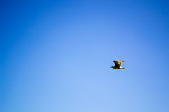 Bird flying the sky. Low angle view of bird flying the blue sky Stock Image