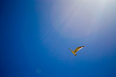 Bird flying the sky. Low angle view of bird flying the blue sky Royalty Free Stock Photos