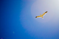 Bird flying the sky. Low angle view of bird flying the blue sky Royalty Free Stock Photography