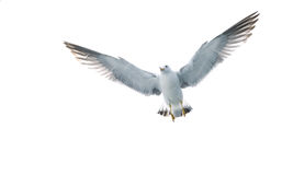 Bird Flying in the sky. On White background stock image