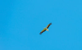 Bird flying in a sunny sky Royalty Free Stock Image