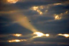 Bird flying in sunrise Royalty Free Stock Photo