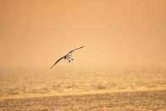 Bird flying at sunset during low tide Royalty Free Stock Images