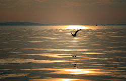 Bird Flying At Sunset Royalty Free Stock Images
