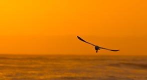 Bird flying to the sunset. Bird flying to the sunset at Peru Royalty Free Stock Photography