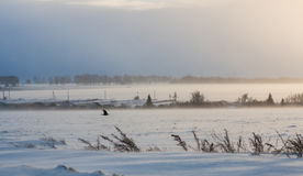 A bird flying in winter mysterious snowy windy blizzard landscap. A black bird flying in winter mysterious snowy windy blizzard landscap Royalty Free Stock Images