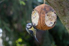 Bird at fodder picking blue tit royalty free stock photography