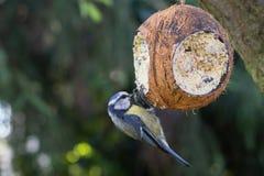 Bird at fodder picking blue tit stock photo