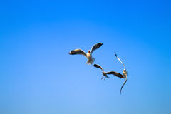 Bird food fight in the sky. Stock Photography