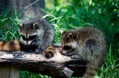 Bird food is fine by us hungry raccoons Stock Images
