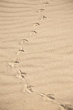 Bird foot print. On dry sand under sun light with grass shadow Royalty Free Stock Photos