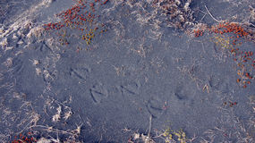 Bird foot steps in volcanic sand at Ingolfshofdi on Iceland Royalty Free Stock Photos
