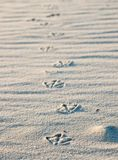 Bird footprints in sand. Bird footprints in the sand Stock Images