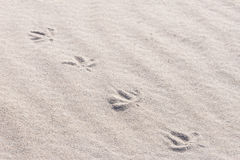 Bird footprints in sand Stock Images