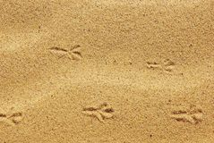 Bird footprints in the sand. The tracks of birds on the river bank Royalty Free Stock Image
