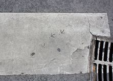 Bird footsteps on painted asphalt Stock Photos