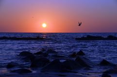 Flying into the sunset. A bird in the foreground flys home as the sun sets Royalty Free Stock Photo