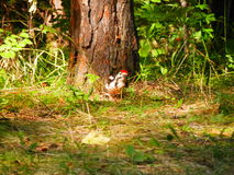 The bird in the forest. A small bird walks on the forest Royalty Free Stock Image
