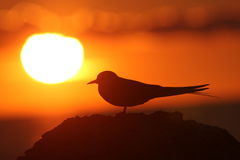 Bird in fron to Sun. Bird in front to Sun. Silhouette in sunset Stock Photo